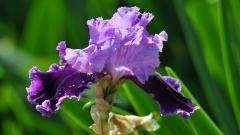 Iris Flower Wallpaper 45403