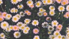 Lovely Daisy Wallpaper 45886