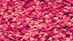 Pink Petals Wallpaper 46543