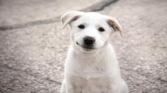 Puppy Wallpaper 47815