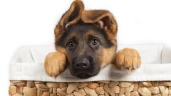 Puppy Wallpaper HD 47814