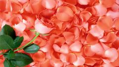 Rose Petals Wallpaper 46542