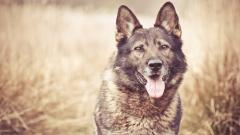 Wonderful German Shepherd Wallpaper 47816