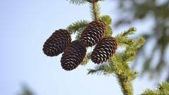 Wonderful Pine Cone Wallpaper 46158