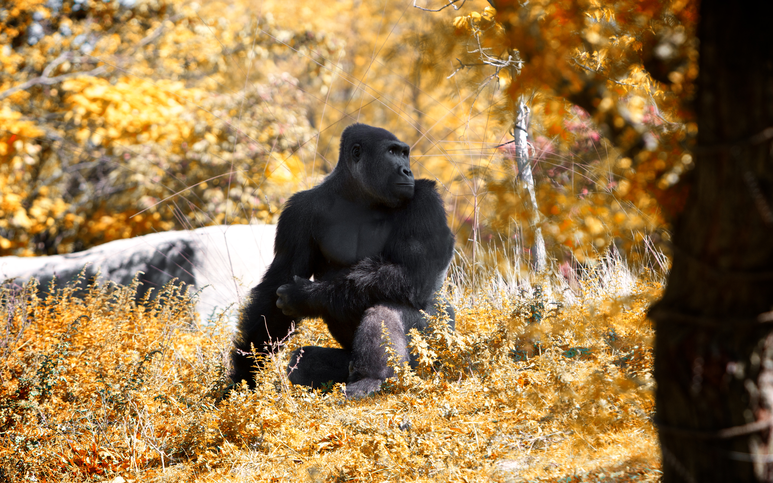 beautiful gorilla wallpaper 46742