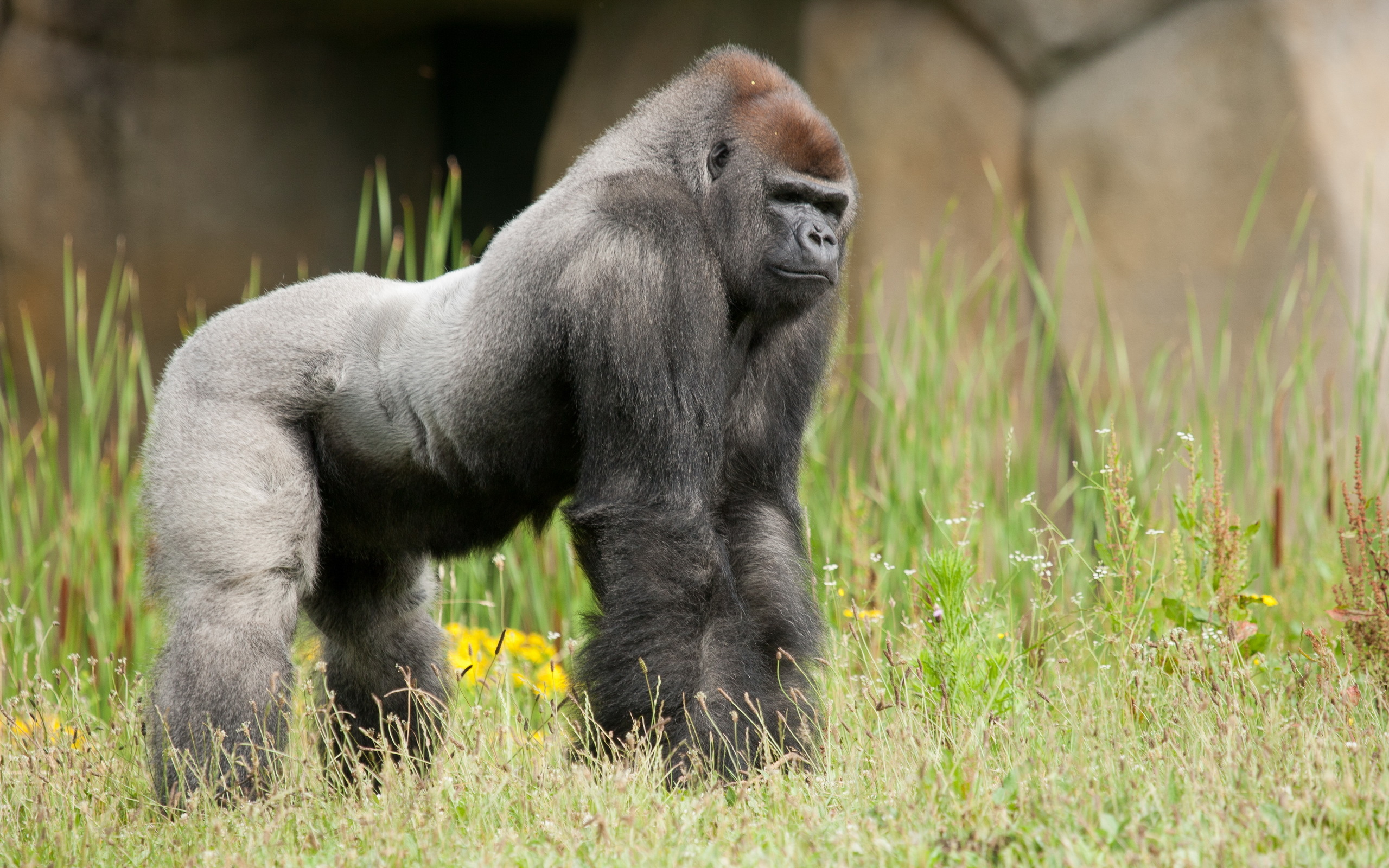fantastic gorilla wallpaper 46745