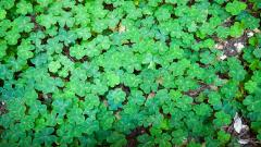 Clover Wallpaper 45919
