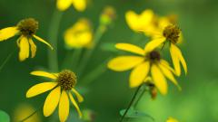 Coneflower Wallpaper 47643
