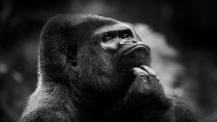 Gorilla Wallpaper 46746