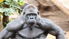 Gorilla Wallpaper HD 46747