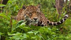 Jaguar Wallpaper HD 48545