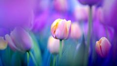 Lovely Tulip Wallpaper 45389