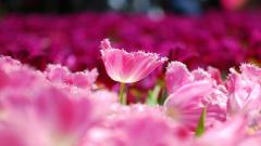 Pink Flowers Background HD 45296