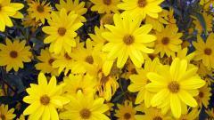 Yellow Flowers Wallpaper 45394