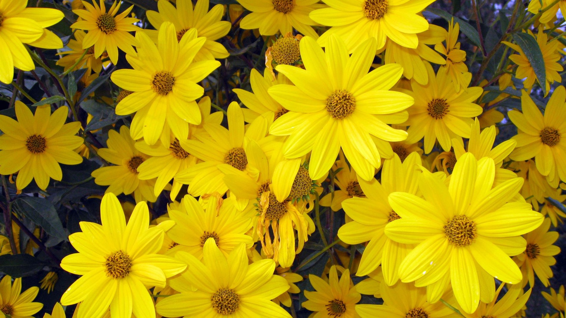 yellow flowers wallpapers pack - photo #36