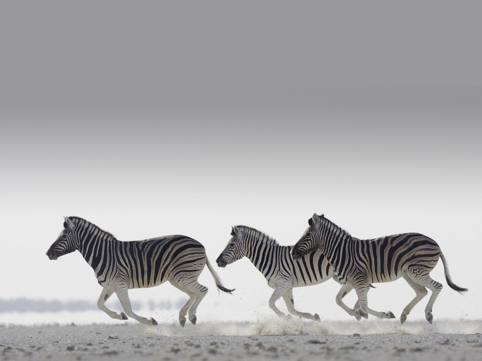 awesome zebra wallpaper 45552