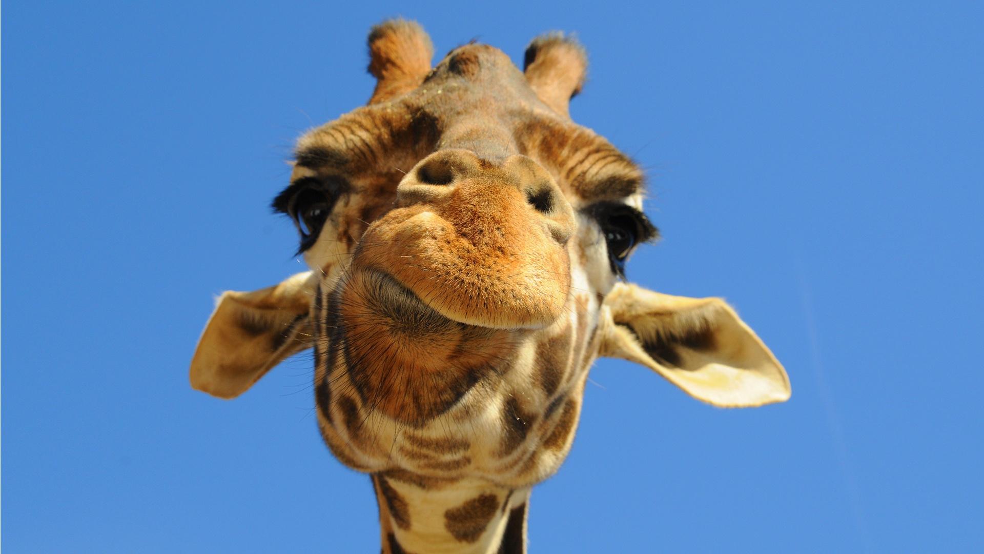 giraffe close up wallpaper 45527