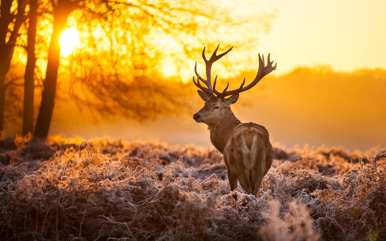 stunning deer wallpaper 45546
