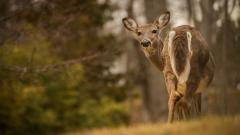Deer Wallpaper HD 45547