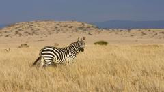 Fantastic Zebra Wallpaper 45550