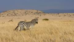 Fantastic Zebra Wallpaper 45550