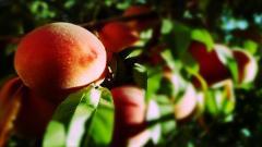 Peaches Wallpaper 46051
