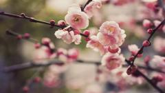 Pretty Cherry Blossom Wallpaper 45336