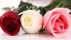 Roses Wallpaper 47324