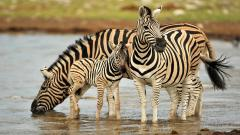 Wonderful Zebra Wallpaper 45553