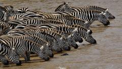Zebra Wallpaper 45551