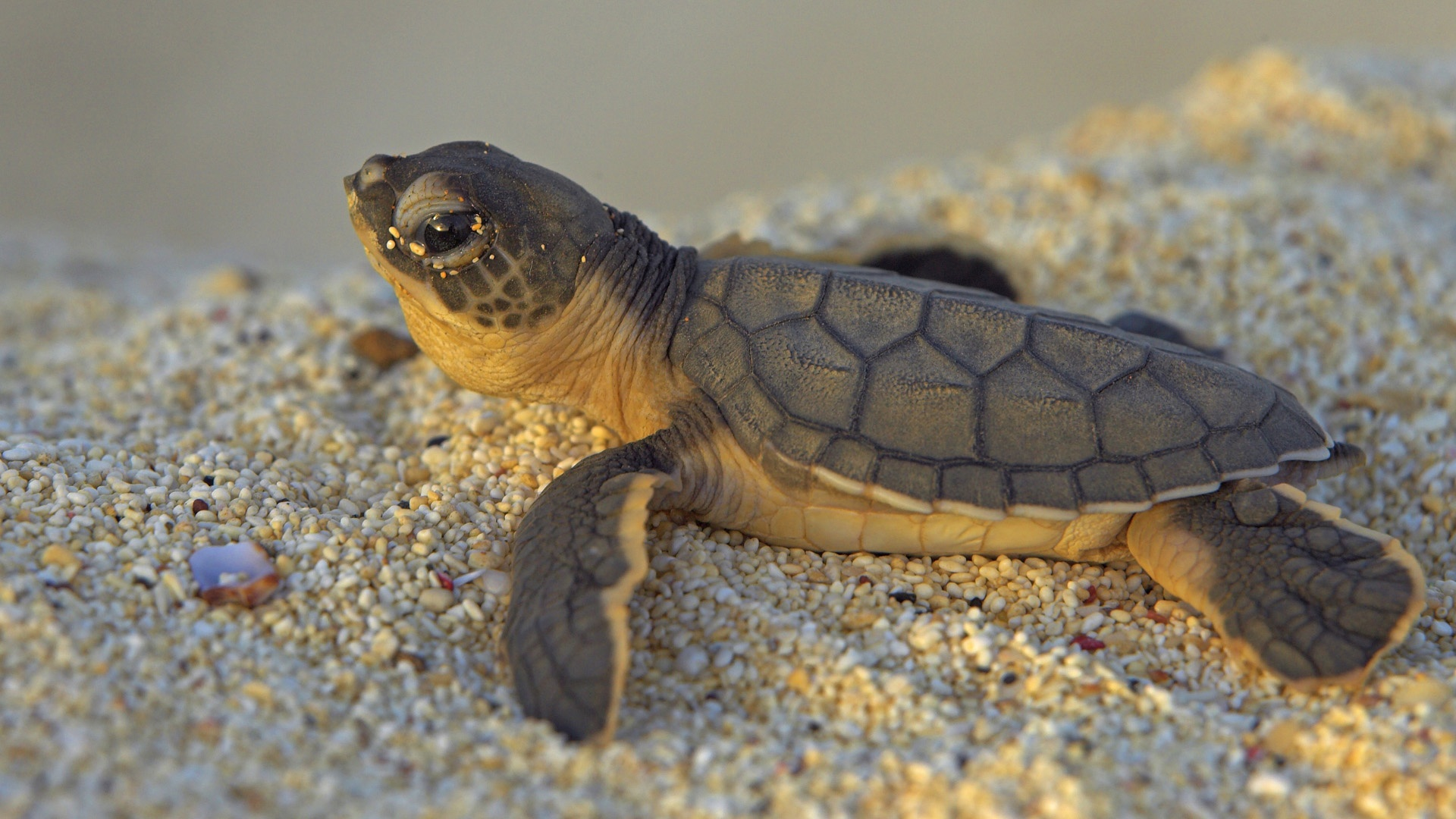 baby turtle wallpaper 46713
