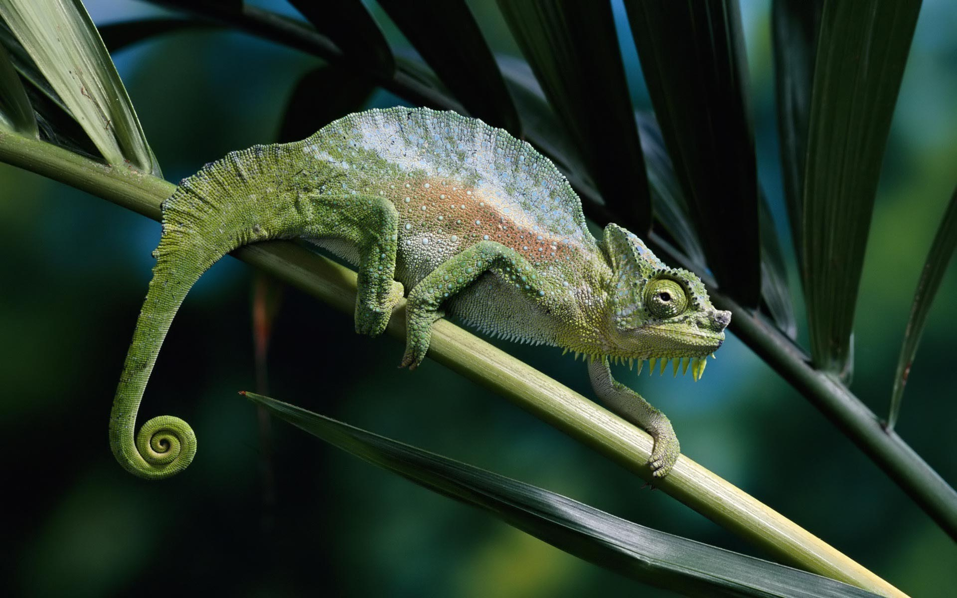 chameleon wallpaper 1920x1200 - photo #9