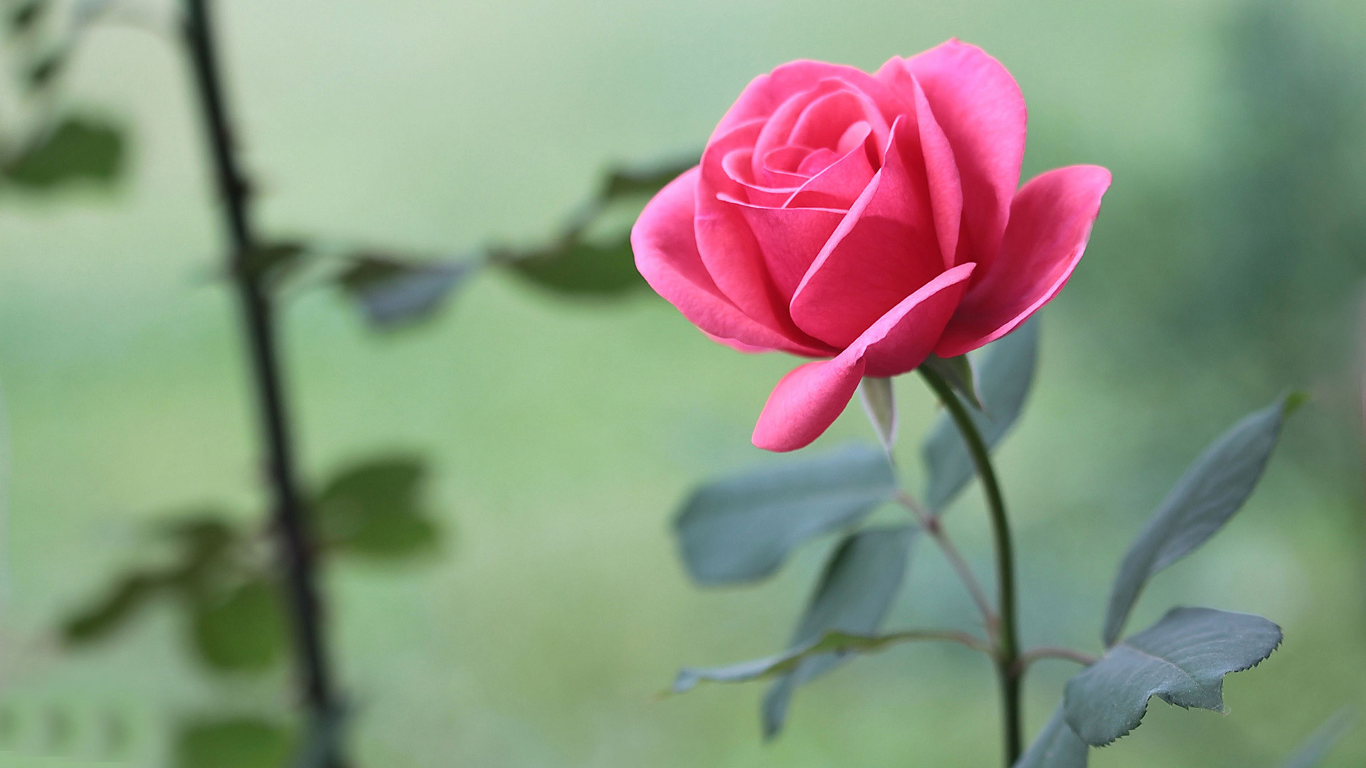 Pink Rose Wallpaper Hd 46814 1920x1080px