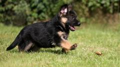 Cute German Shepherd Puppy Wallpaper 45733