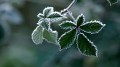 Green Frost Leaves Wallpaper 46529