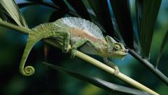 Panther Chameleon Wallpaper 46715