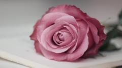 Pink Rose Wallpaper 46812