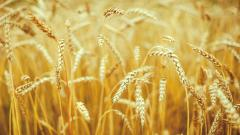 Pretty Wheat Harvest Wallpaper 46117