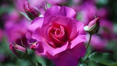 Rose Flowers Wallpaper 46809
