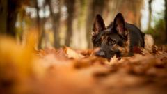 Stunning German Shepherd Wallpaper 45735