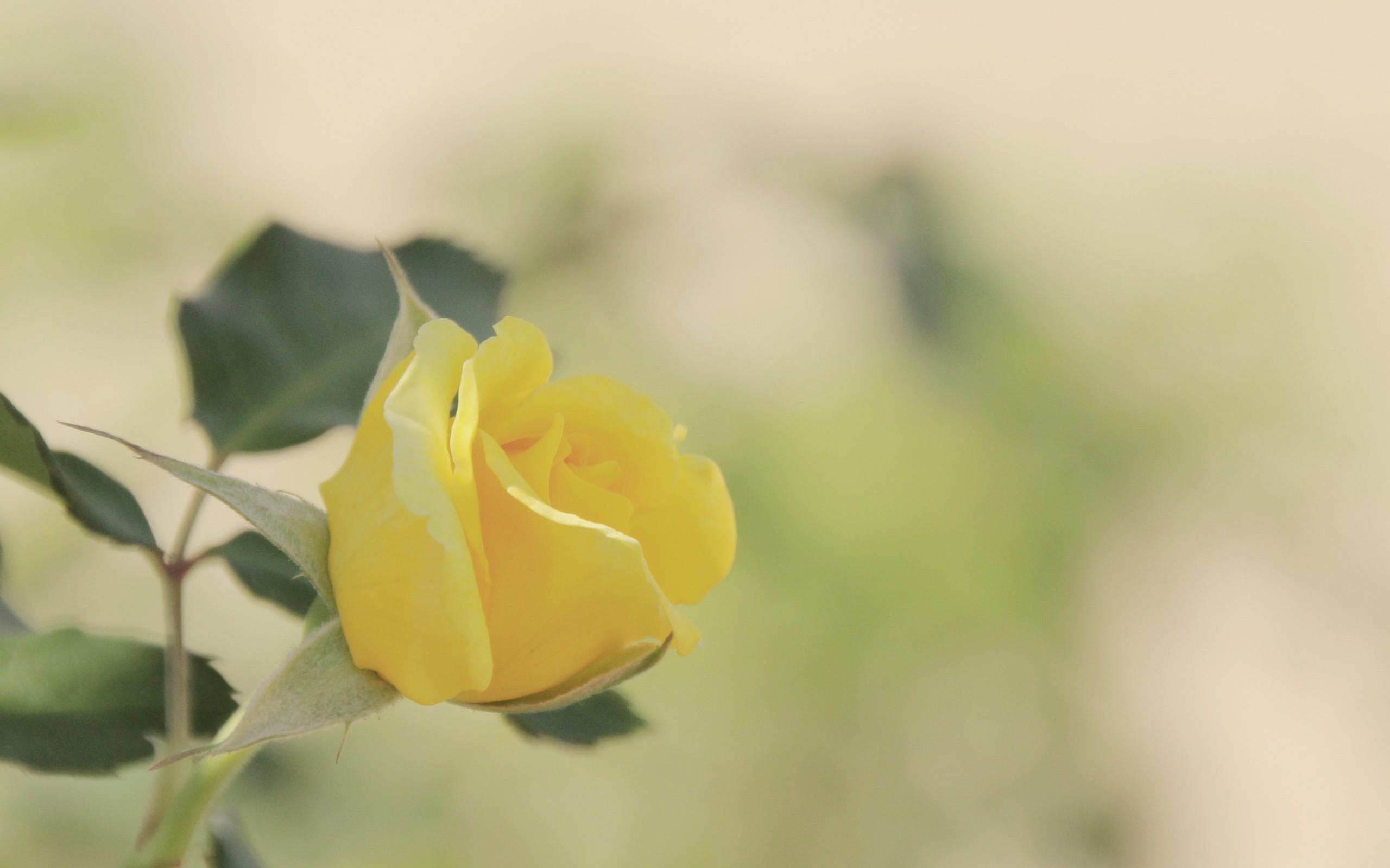 yellow rose wallpaper 46811 2560x1600 px