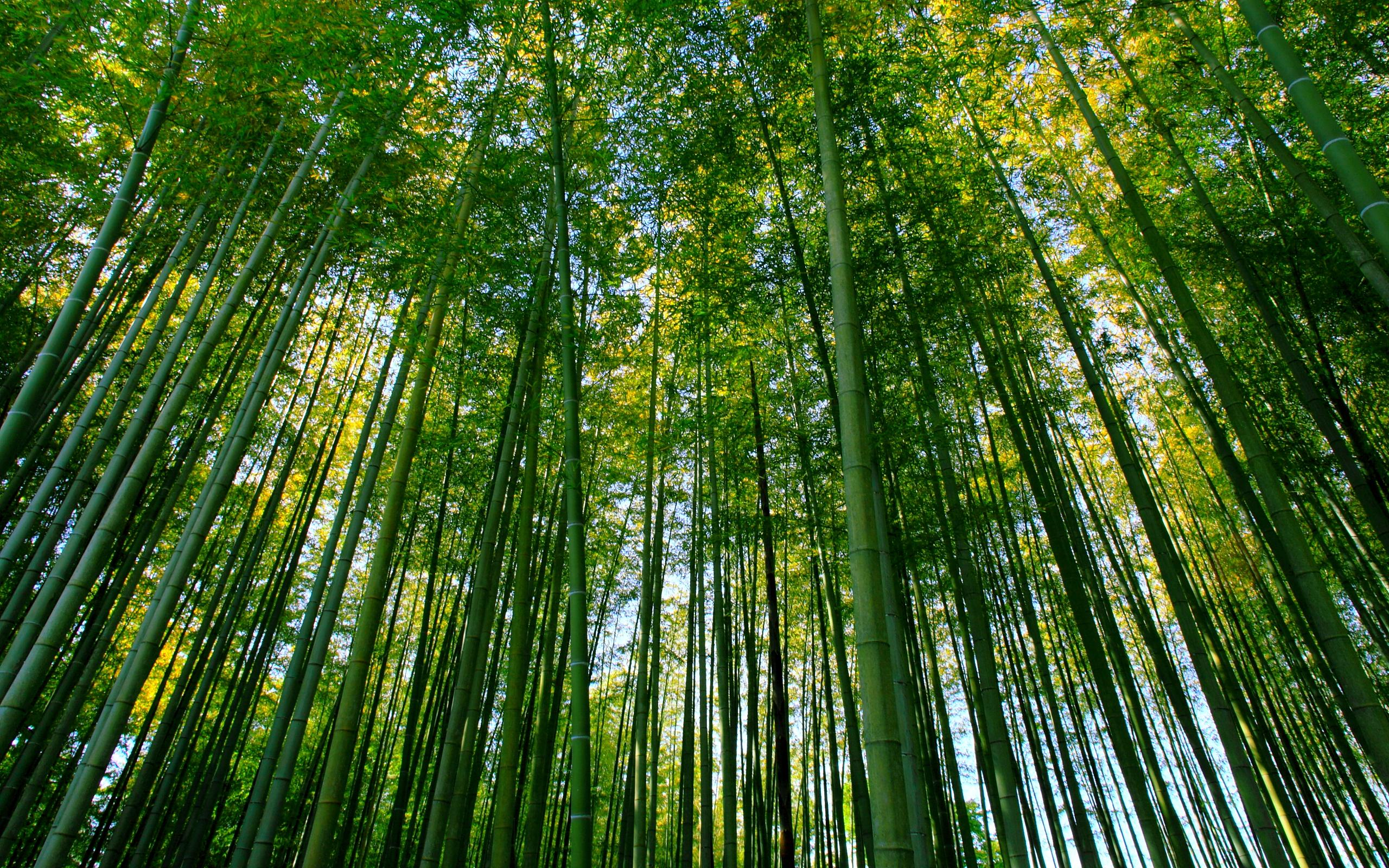 bamboo forest wallpaper background 48865 2560x1600px