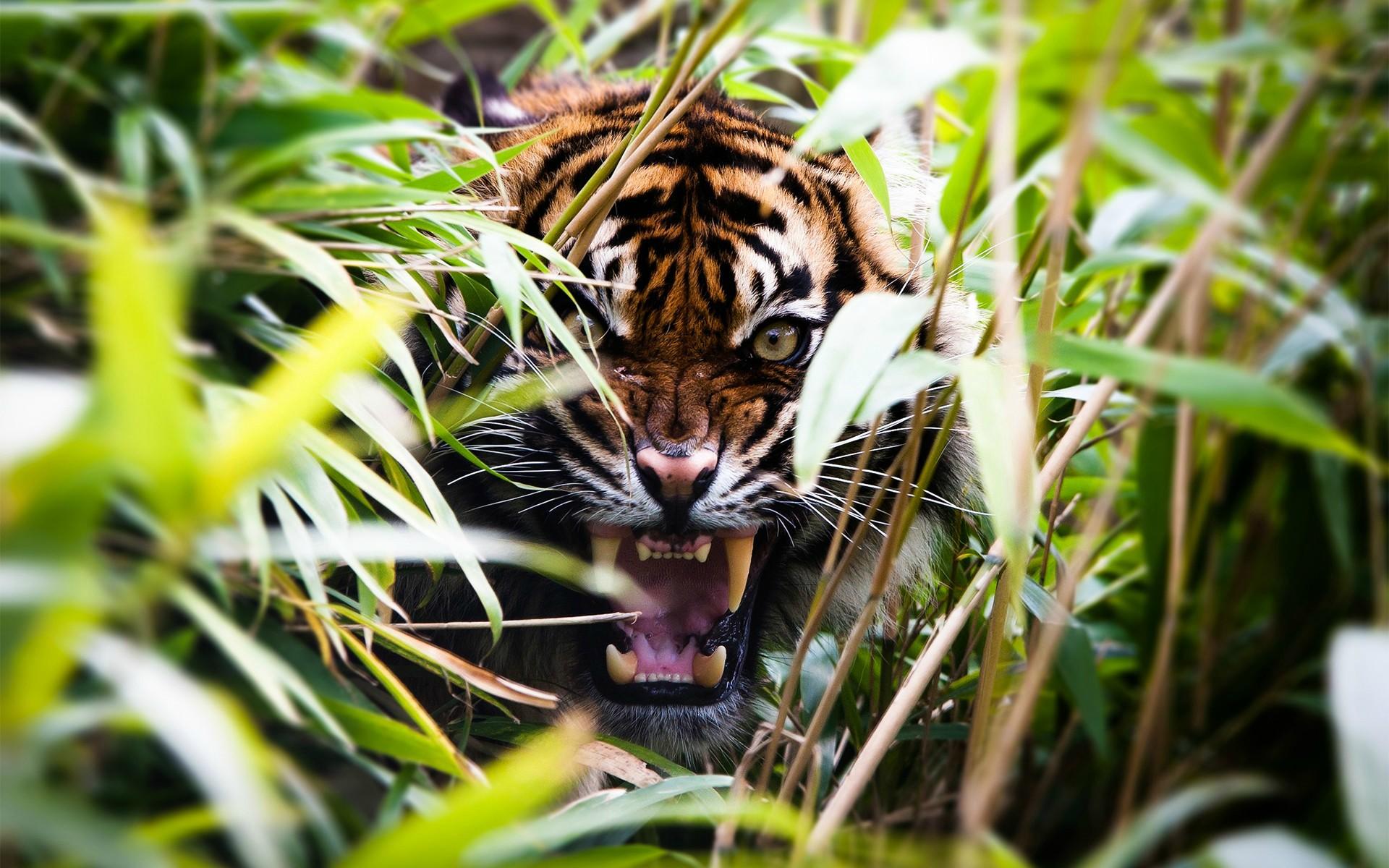 stunning tiger wallpaper 46118
