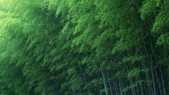 Bamboo Forest Wallpaper 48864