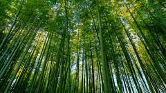 Bamboo Forest Wallpaper Background 48865