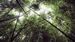 Bamboo Forest Wallpaper HD 48867