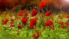 Poppies Wallpaper 45767