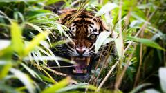 Stunning Tiger Wallpaper 46118