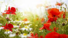 Wonderful Poppies Wallpaper 45766