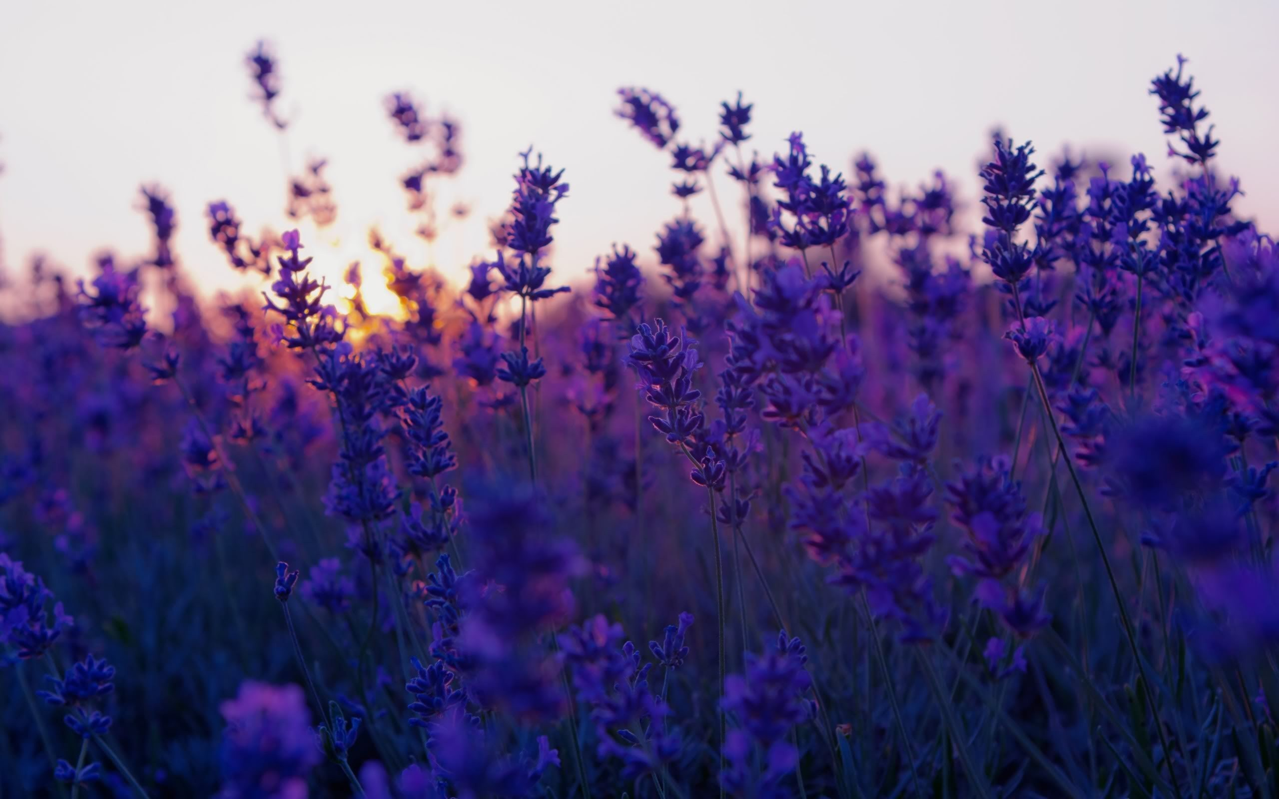 Lovely purple flowers wallpaper 45230 2560x1600 px for Purple wallpaper for walls
